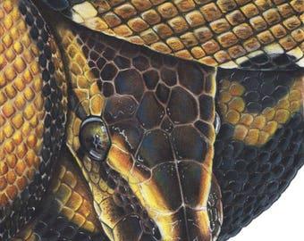 Ball Python - Fine Art Print - By Laura Airey Le - Royal Python Portrait Reptile Snake