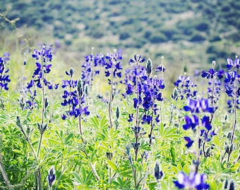 Wild Blue Lupine - Israel Wildflowers - Made in Israel Photography - blue and purple art