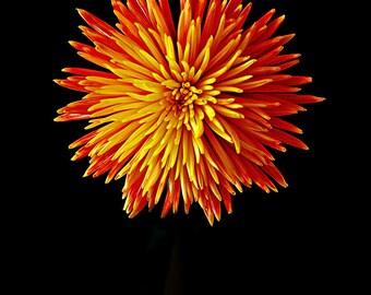 Red Orange Yellow Firework Chrysanthemum 5x7 Fine Art Photograph