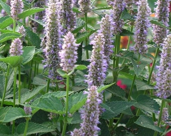 Anise Hyssop, Anise Hyssop Seeds | Easy to Grow Herb Attracts Bees, Butterflies and Hummingbirds!