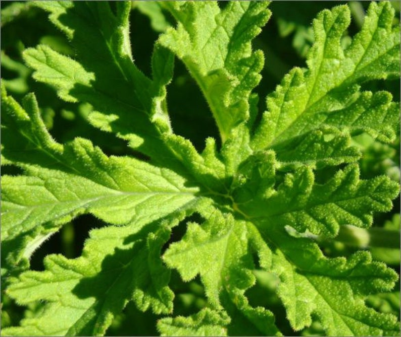 Scented Geranium Organic Rose Scented Geraniums Seeds Rare Etsy