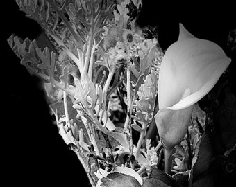 Calla Lilly Fine Art Photography Metal Print by Rochelle Carr