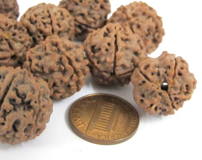 10 Beads- Extra Large size natural rudraksha beads from Nepal  16-20 mm mala making supplies - ML002L