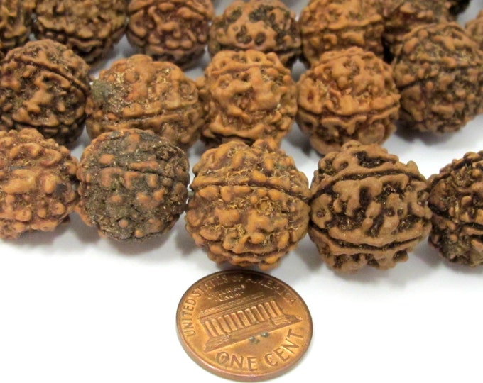 10 beads - Extra Large size 17 -20 mm size natural rudraksha beads from Nepal - ML044B