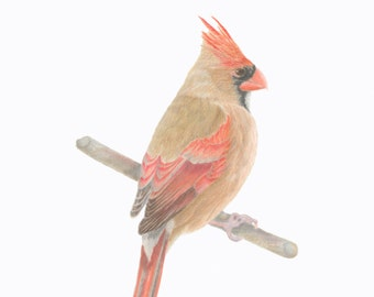 Northern Cardinal/BIRD ILLUSTRATION/Archival Giclee Print/Ornithology, Conservation/ Orange-Red,Brown