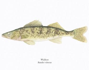 Walleye/ FISH ILLUSTRATION/Archival Giclee Print/Fishermen/Natural Science