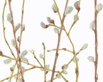 Pussy Willow/ BOTANICAL ILLUSTRATION/Archival Giclee Print/Nature,Spring
