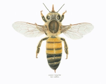 Honey Bee/ INSECT ILLUSTRATION/Archival Giclee Print/Conservation Art/Golden,Blacks/Natural Science