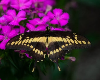 Giant Swallowtail ~ Butterfly, Insect, exotic, black, yellow, flower, purple, macro, live, brokeh, out of focus, background, art, photo