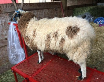 ON SALE Fine crimpy fleece from Ank-Lambs Flower