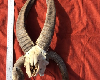 Yearling Jacob Sheep skull with 4 horns