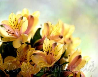 Golden Peruvian Lilies Print, Flower Photography, Beautiful Yellow Flower Print, Yellow Lily Photo, Floral Print, Dreamy Translucent Petals