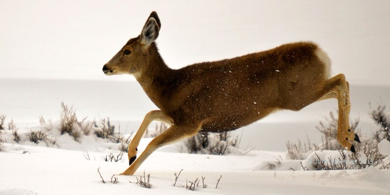 Deer in Snow 8 x 16, Winter Doe, Fine Art Photo