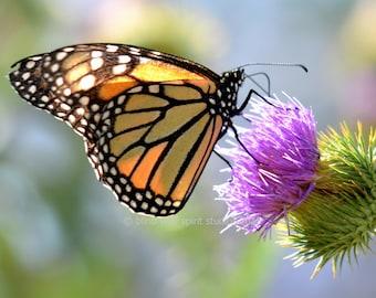 Monarch Butterfly Photograph, Purple Thistle, Floral, Fine Art Photo