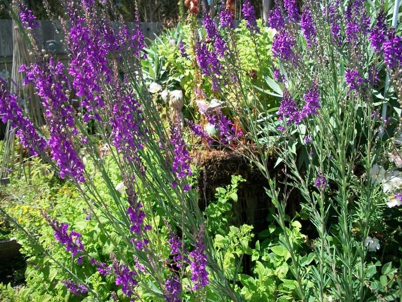 Flower Fairy Garden Seeds, Linaria, Purple Toad Flax, Fairy/Secret,Magical  Flower Garden Seeds/Organic