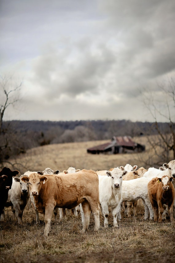 Cow Photography - Farm photography, southwest, cows, midwest, wall decor, cattle, country living, western, cows in field, barn in field