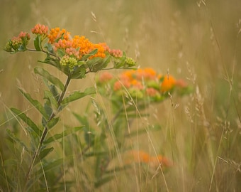 Butterfly Weed on Big Meadows