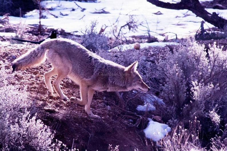 Wild Coyote art New Mexico  8x12 giclee print   wildlife  image 0