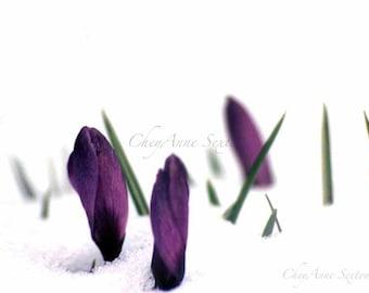 My most popular Crocus Flower Art - Deep Royal Purple Crocus pushing thru'  Winter Art  giclee photo print 8x12