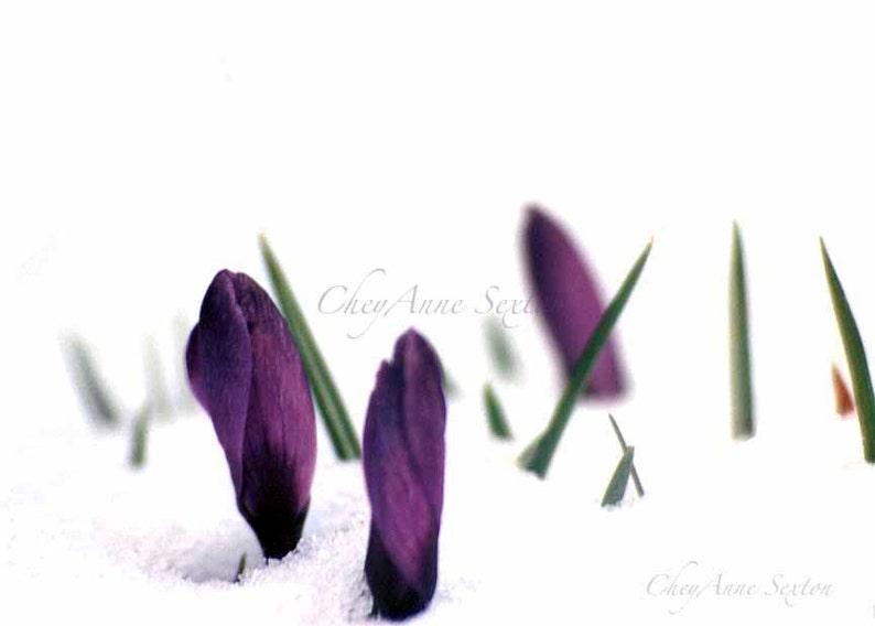 Purple Crocus Flower Art  Deep Royal Purple Crocus pushing image 0