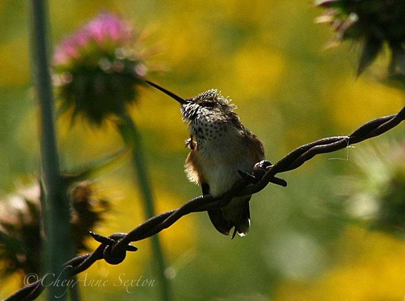 Hummingbird Photography Giclee Print 8x12 Cute little female image 0