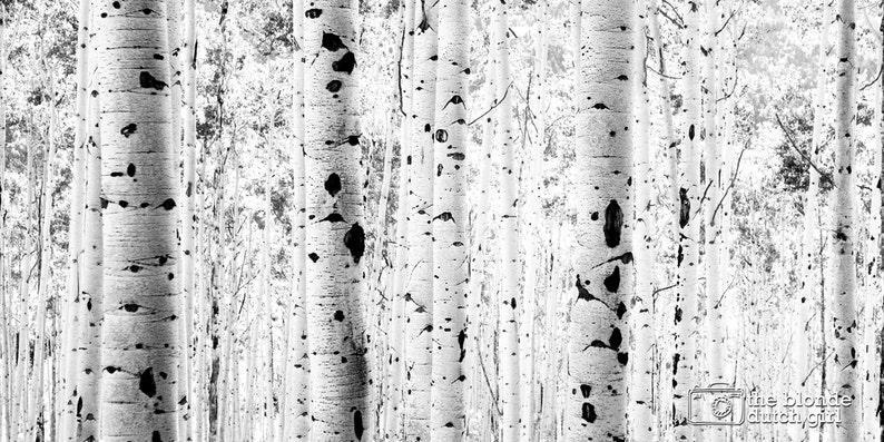 Aspen Photo  Aspen Trees  Aspen Tree Photo  Black and White Aspen Photograph  Row of Aspens GIANT PRINT in color or black /& white