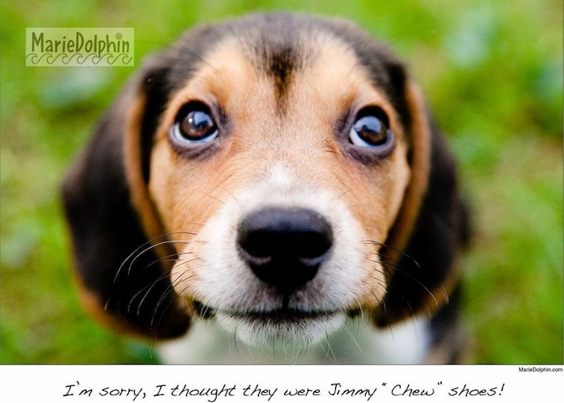 BEAGLE Puppy Dog with saying: I'm sorry I thought they were Jimmy Chew  shoes BW or color Photograph 9x12 poster ish wall decor