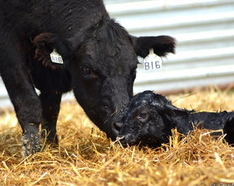 Newborn Calf Photography
