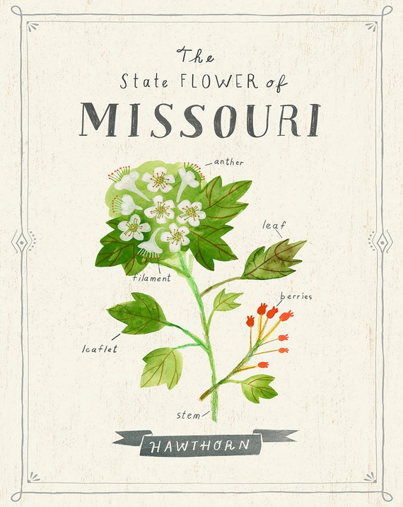 Missouri State Flower Print The Hawthorn Etsy