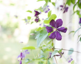 purple clematis in my garden - delicate flowers -flower photography -pretty petals - Original fine art photography prints - FREE Shipping