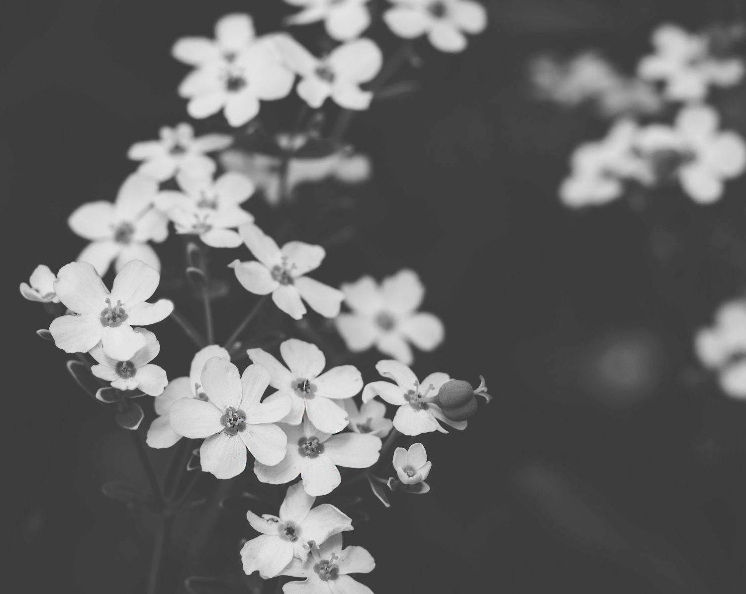Lovely Small White Flowers B W Flower Photography Black And Etsy