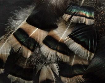 "x10 Turkey Feathers - 4 1/2 - 6 1/2"", Iridescent Blonde & Black, Domestic Heritage Turkey - meleagris gallopavo HTF384 HD"