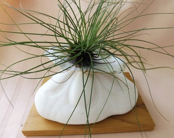 Bright white giant Sea Biscuit with oyster shell on top Airplant Arrangement