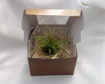 Wedding Favor special with airplant in gold box
