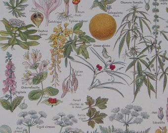 French vintage botanical print DANGEROUS PLANTS from Larousse Medical Illustre Published 1912