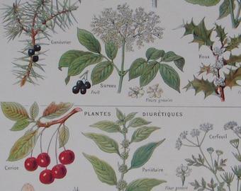 French vintage botanical illustration Sudorific and Diuretic Plants from Larousse Medical Illustre Published 1912