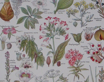 Original French antique botanical print 'Plantes Dangereuses'  DANGEROUS PLANTS from Larousse Medical Illustre Published 1912