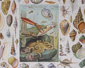 VINTAGE FRENCH Book Illustration 'MOLLUSQUES' (Shellfish) 1932 by Vignerot & Demoulin