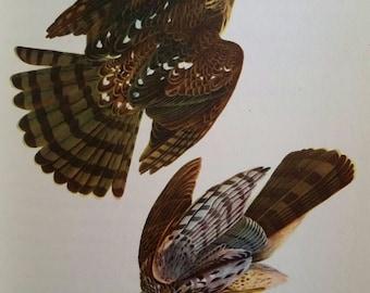 Stanley Hawk, antique Audubon bird print