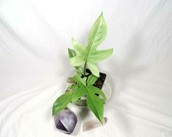 Philodendron Florida Ghost MINT! No shipping to ca,az,la,tx