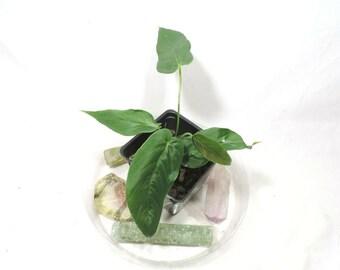 Anthurium Dolichostachyum. no ship ca,az,tx,la