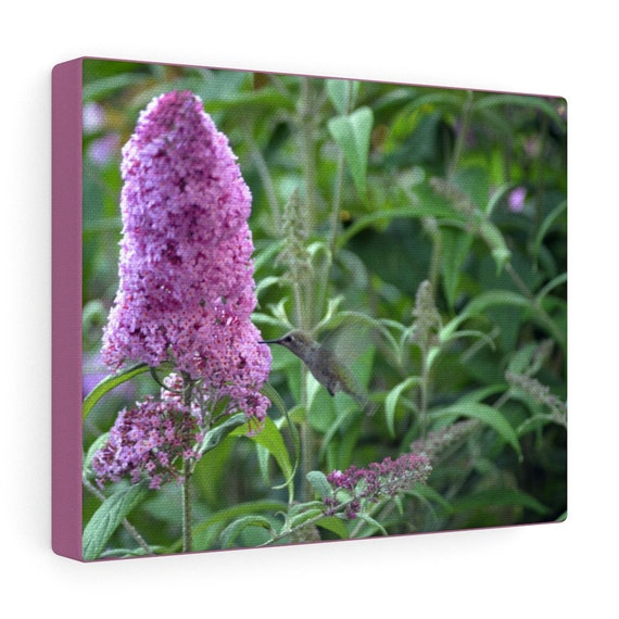 Hummingbird & Hummingbird Bush Canvas Gallery Wraps