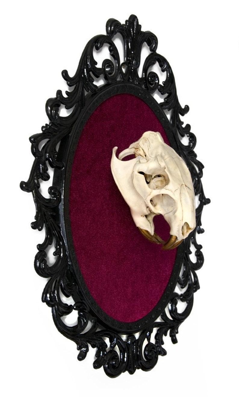 Real Beaver Skull with Gold Teeth on Red Velvet  Victorian image 0