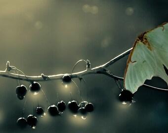 Luna Moths, Cherries in the moonlight, Trees, Branches, Dark Photography, Nature, Maine, Moonlight, Dew Drops, 8x19, 12x23