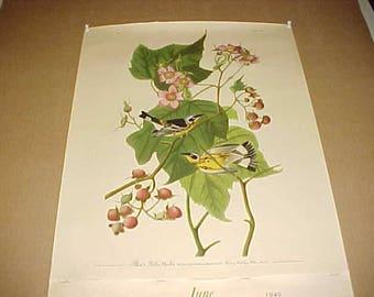 Lithograph Audubon Bird Print Black & Yellow Warbler From 1949 Calendar
