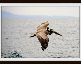 Pelican in Flight 8x10 Fine Art Print
