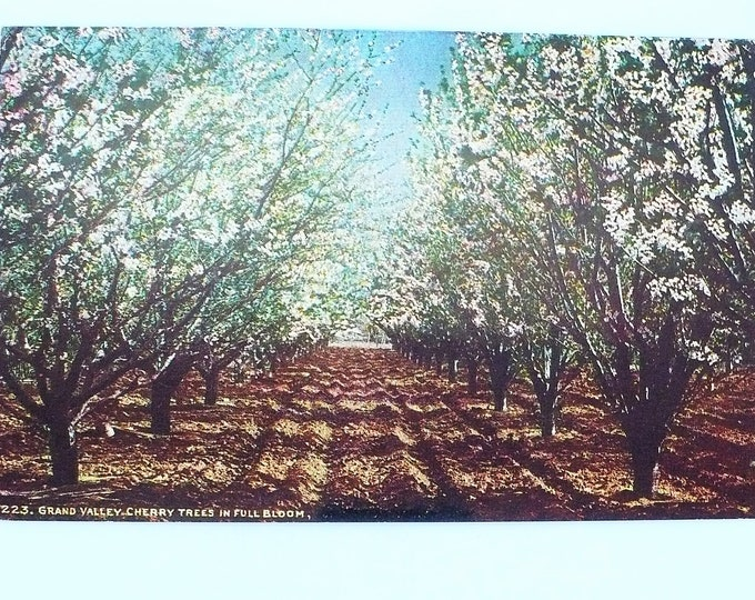 1907 Cherry Trees Full Bloom Grand Valley Colorado Vintage Postcard Unposted
