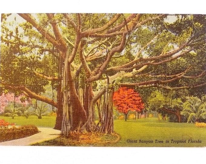 1952 Great Banyan Tree Tropical Florida Vintage Postcard Posted