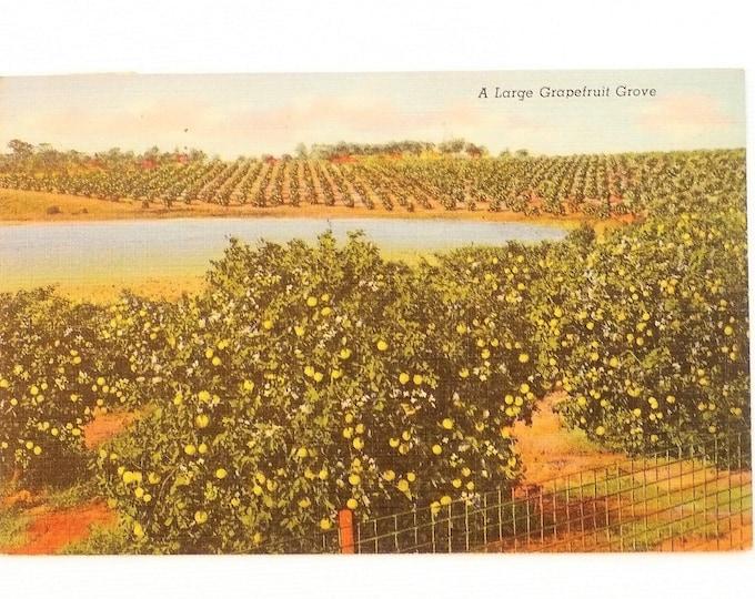 1950 Large Grapefruit Grove Florida Vintage Postcard Posted