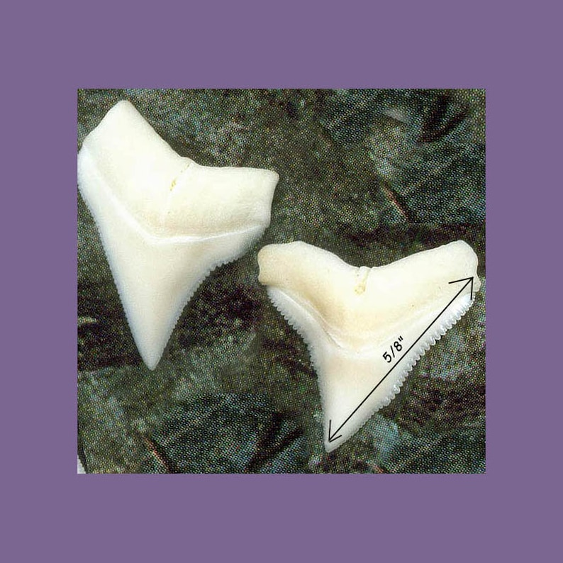 1 Shark tooth 58 size Upper White Shark Teeth Grade A Creamy White Shark Tooth for jewelry and wire wrapping
